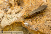 Stonefly (Neoperla clymene) 20160514_1089.jpg (Abbott Nature Photography) Tags: systellognatha neoptera plecopterastoneflies exopterygota insectainsects pterygota organismseukaryotes animals invertebratainvertebrates arthropodaarthropods hexapoda cedarcreek texas unitedstates us