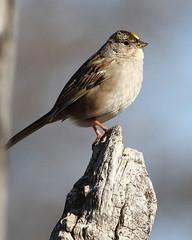 Golden-crowned Sparrow (jlcummins - Washington State) Tags: cowichecanyonconservancy snowmountainranch yakimacounty washingtonstate bird goldencrownedsparrow fauna wildlife