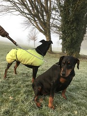 Dobermann Pinschers Saxon And Gabbana (firehouse.ie) Tags: animals animal dogs dog gabbana saxon female male pinscher pinschers dobermans doberman dobermanns dobermann dobeys dobey dobies dobie dobes dobe