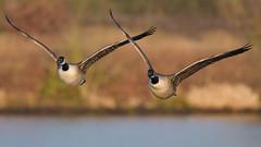 Canada Geese. (PRA Images) Tags: canadageese brantacanadensis wildfowl geese birds wildlife nature eltonreservoir bury