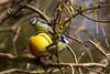 Blåmeis med eple (Stjerneøye) Tags: blåmeis meis fugler fugl eple tre tits