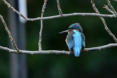 Perched kingfisher (Paul Wrights Reserved) Tags: kingfisher bird birding birds birdphotography birdwatching animal animals nature naturephotography wildlife wildanimal wildlifephotography