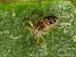 Jumping spider, Sidusa mandibularis? Salticidae