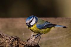 Blue Tit (PINNACLE PHOTO) Tags: blue tit bird small uk martinbillard