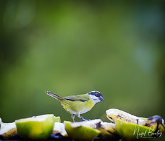 SOOTY-CAPPED BUSH-TANAGER 1 (Nigel Bewley) Tags: birdtable arenal costarica centralamerica wildlife naturalhistory greatoutdoors wildlifephotography endangeredwildlife bird birds avian birdlife distinguishedbirds birdwatchercreativephotography artphotography unlimitedphotos february february2018 nigelbewley photologo sootycappedbushtanager chlorospinguspileatus