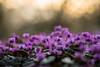Alpenveilchen (michel1276) Tags: pancolar8018 pancolar carlzeiss carlzeissjena manualfocus vintagelens m42 flowers flower flowerwatcher blume frühblüher frühling spring alpenveilchen