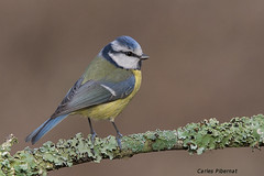 Mallerenga blava, Herrerillo común, Blue Tit (Cyanistes caeruleus) (Carles Pibernat) Tags: