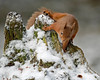 Red Squirrel (coopsphotomad) Tags: squirrel mammal animal wildlife nature redsquirrel canon zoom snow wild native wood