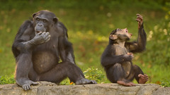 Poppin'' Nuts (035516) (Mike S Perkins) Tags: kczoo milo teeoni chimpanzee kansascity nut eating snack brother sister green sitting fun sibblings kid infant family ngc