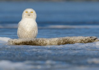 Is that a snowman or a Snowy Owl?