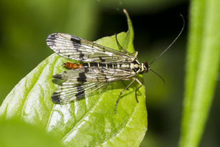 Scorpion Fly - (Panorpa Communis) female (Explored)