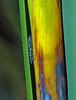 Jewel-beetle Synechocera deplana (Simon Grove (TMAG)) Tags: coleoptera buprestidae synechocera insecta tasmania tmagzoology