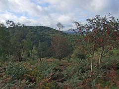 Autumn in Teign Gorge, from Hunter's Path (Philip_Goddard) Tags: europe unitedkingdom britain british britishisles greatbritain uk england southwestengland devon dartmoornationalpark drewsteignton teignvalley teigngorge hunterspath views scenery landscapes valley hill woodland wood autumn rowan berries