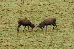 Red Deer Stags, Dartmoor (Martin F Hughes) Tags: martin hughes canon 7d mkii mk2 cornwall devon dartmoor red deer stags rutting mamals reddeer