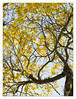 Ipê Amarelo... (Herbert Macário) Tags: ipêamarelo herbertmacario andarilho arvoredo