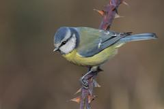 Cinciarella (Polpi68) Tags: bird birds birdwatching uccello nature
