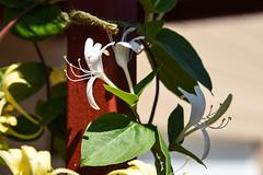 Honeysuckle (maytag97) Tags: maytag97 nikon d750 honeysuckle plant flower blossom white green leaf stigma anther filament stamen style