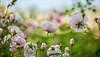 Late September (paulapics2) Tags: rose nature depthoffield outdoor september flora bokeh canoneos5dmarkiii canonef70300mmf456lisusm plant pink
