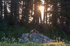 Greeting the dawn together (Laura Jacobsen) Tags: hiking mtrainier mtrainiernationalpark mttahoma nationalparks paradise rainier wildfire wildflowers