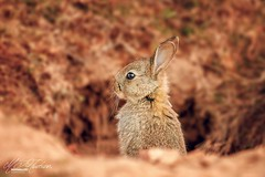 Baby rabbit (Mandyjj543) Tags: rabbit rabbits wildeness wildlife nature bunny bunnies