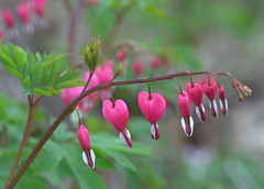 Hanging my heart out (KsCattails) Tags: bleedingheart flower garden heart holiday kscattails macro nature pink romantic valentine