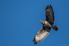 Buteo Buteo, Common Buzzard (eric-d at gmx.net) Tags: buteobuteo nikon wildlife eric ngc buzzard mäusebussard bussard bird