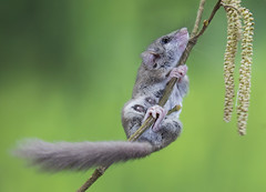 The Pole Dancer (ToriAndrewsPhotography) Tags: mouse rodent climbing catkins workshop photography andrews tori dormouse