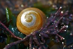 The Grey Top Shell (Gibbula cineraria) (sdonaldson84) Tags: marine biology marinebiology macro canon sigma closeup gastropod snail uk coast rockpool ocean wildlife