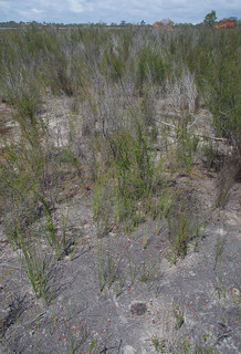 Drosera x sidjamesii, Lake Gnangara, Perth, WA, 28/11/17
