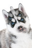 Siberian husky puppy with blue eyes isolated (emilycordova) Tags: puppy puppies little small adorable alaskan animal beautiful breed canine coat dog doggy domestic friend face fur husky huski mammal pedigree pedigreed pet purebred portrait pretty siberian young one cute grey gray white malamute snout muzzle isolated blueeyes