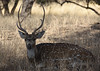 chital (praveen.ap) Tags: chital spotted spotteddeer deer axis axisdeer rajasthan ranthambhore ranthambore ranthambhoretigerreserve ranthamborenationalpark ranthambhorenationalpark ranthamboretigerreserve zone4 4