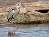 Garza real (Ardea cinerea) (5) (eb3alfmiguel) Tags: aves zancudas ciconiiformes ardeidae garza real ardea cinerea