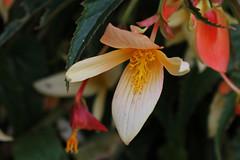 Begonia 'Summerwings Vanille' - BG Meise (Ruud de Block) Tags: meisebotanicalgarden nationaleplantentuinmeise jardinbotaniquemeise begoniaceae begoniasummerwingsvanille