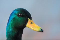 Wilde Eend Woerd_02 (Nick Dijkstra) Tags: wilde eend common duck artis
