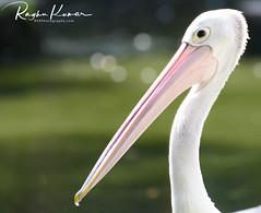 Wildlife @ Jurong Bird Park, Singapore (rvk82) Tags: 2016 animalsbirds birds december december2016 jurongbirdpark nikkor200500mm nikon nikond500 rvk rvkphotography raghukumar raghukumarphotography singapore wildlife rvkonlinecom rvkphotographycom sg