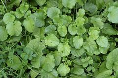 yellow rocket (ophis) Tags: brassicales brassicaceae barbarea barbareavulgaris yellowrocket