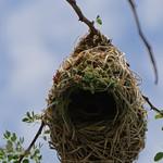 Webervogelnest thumbnail