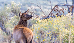 One coy cow (Pejasar) Tags: mammal elk cow female coy pursued yellowstone nationalpark wyoming