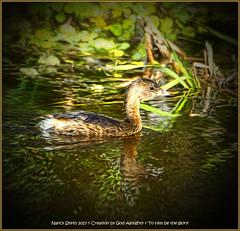 Pied-billed Grebe (NancySmith133) Tags: piedbilledgrebe lakeapopkanorthshorewildlifedrive centralfloridausa naturescarousel