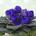 非洲紫羅蘭 Saintpaulia High Expectations  [香港花展 Hong Kong Flower Show]