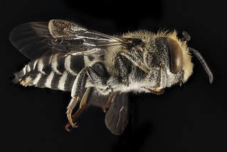 Coelioxys rufitarsis, M, Side, NY, Franklin County_2014-09-11-09.33.09 ZS PMax