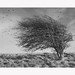 Windswept by Jo ~ - Hawthorn tree, by the coast, Butts Brow near Eastbourne, Sussex