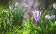 Spring Crocus, Snowdrops series - 3 (Dhina A) Tags: sony a7rii ilce7rm2 a7r2 minolta rf rokkorx 250mm f56 mirror reflex minolta250mmf56 md prime rokkor bokeh spring crocus snowdrops