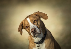 Cosmo explored 21-2-18 #4 (Dogstar_photography) Tags: ef135mm f2l usm canon eos 5d mark iv rescue dog greece carat caring for the animals trust pointer
