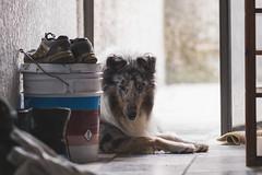 Lulo. (Gerardo Nava Fotografía.) Tags: sony alpha a77ii sonyflickraward sonyalpha sonyméxico sonya77ii sonyalphamexico sonnart18135za sonnart18135 sonyzeiss sal135f18z zeiss zeisslens méxico retrato portrait dog doggie doggy perro collie