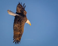 Bald Eagle Delaware (stephenwalshphoto) Tags: