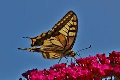 Butterfly (Hugo von Schreck) Tags: schwalbenschwanz papiliomachaon hugovonschreck butterfly macro makro insect insekt canoneos5dsr tamron28300mmf3563divcpzda010