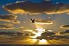 The seagull of the dawn (Wal Wsg) Tags: the seagull dawn theseagullofthedawn gaviota gaviotasenvuelo gaviotaargentina mundoanimal animalworld bird canoncanoneosrebelt3 phwalwsg