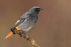 black redstart (leonardo manetti) Tags: uccello bird nature red winter colours naturephotography field natural nikkor countryside green morning black