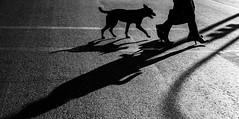 "clac-clac-clac (negrominay) Tags: chile santiago urban city walking feet legs street monochromatic monochrome ""blackwhite"" ""blackandwhite"" bw perro dog blancoynegro mono monocromo monocromático canon canoneos7d canonef50mmf18stm 50mm corner crossing streetphotography highcontrast sun daylight calle pies tacos heels shoes zapatos piernas woman mujer sombras shadows"